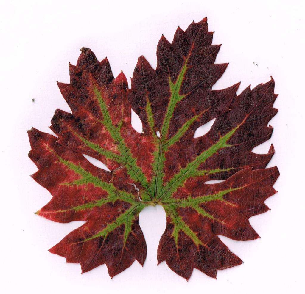 My vine's leaf